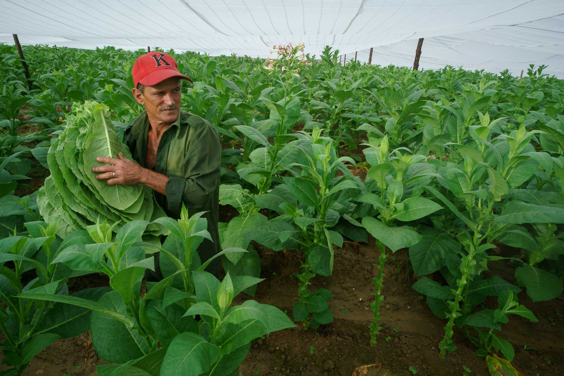 Cuban Tobacco Worker In The Fields | Stories + Objects Luxury Lifestyle Magazine