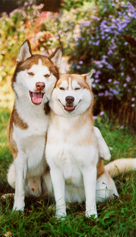 brown huskies smiling