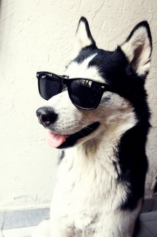 cool husky with sunglasses