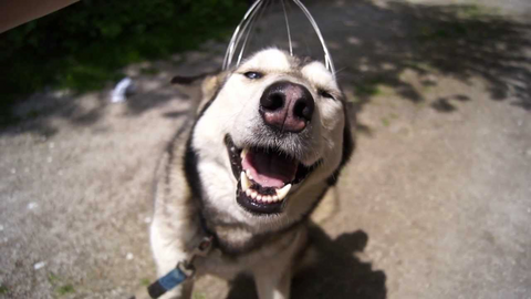 husky getting a head massage