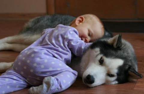 baby sleeping with husky