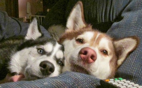 huskies spooning in bed