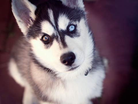 Husky puppy with beautiful eyes
