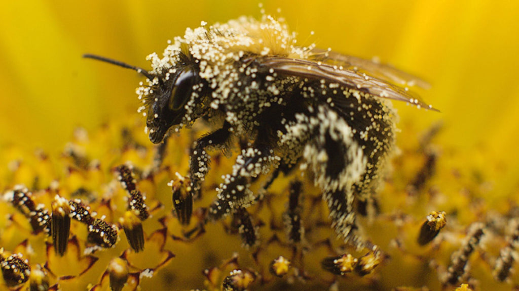 How is Bee Pollen Collected