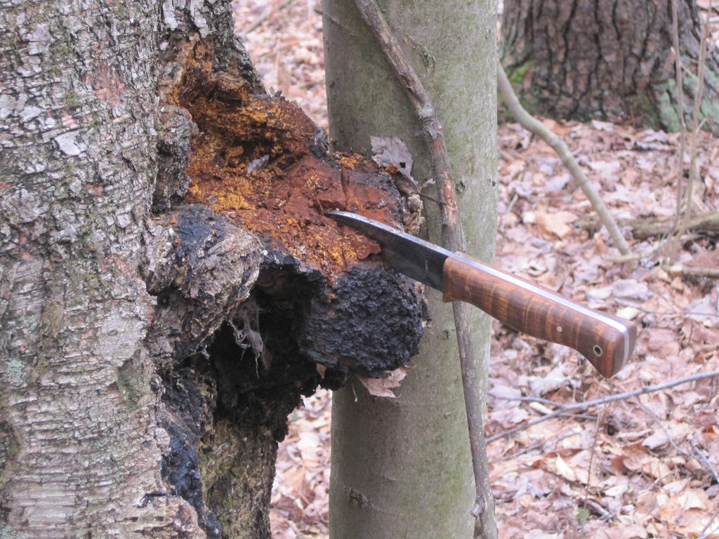 Harvesting of Chaga Mushrooms