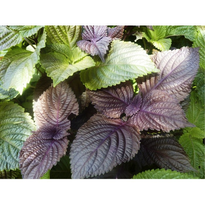 Perilla, Japanese Shiso (Perilla frutescens L.) Herbal Plant Seeds
