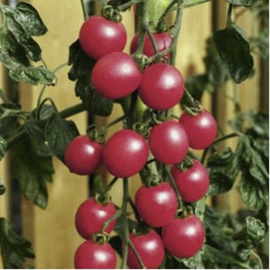 Cherry Tomato 'Raspberry Baby' (Lycopersicon Esculentum Mill.) M.Late Vegetable Heirloom, 20-30 Seeds
