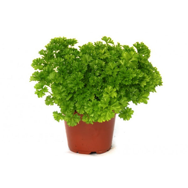 Herbal Curly Parsley 'Moss Curled' (Petroselinum Crispum) Medium Early Herb Heirloom, 1000 Seeds