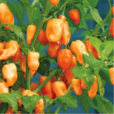 Hot Habanero Pepper 'Habanero Peach' (Capsicum Chinense) Heirloom, 10 Seeds