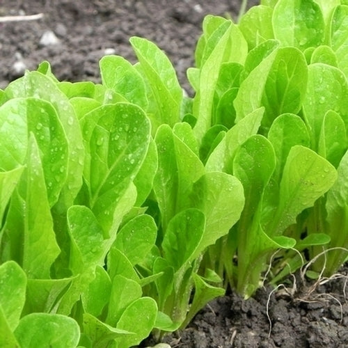 Lettuce 'Osterley' (Lactuca Sativa) Babyleaf Vegetable Heirloom seeds