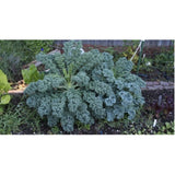 Organic Kale 'Dwarf Blue Curled' (Brassica Oleracea L.) Vegetable Heirloom, 2g (~300) Seeds