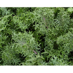 Organic Siber Frill Kale (Brassica Napus) Vegetable Heirloom, 30 Seeds