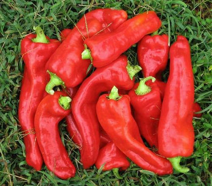 Pepper Sweet 'Marconi' (Capsicum Annuum) Vegetable Plant Heirloom, 20 Seeds
