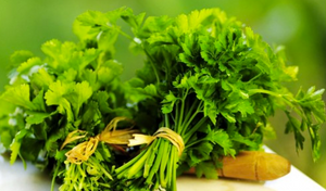 Herbal Leafy Parsley 'Festival 68' (Petroselinum Crispum) Medium Early Herb Heirloom, 1200 Seeds