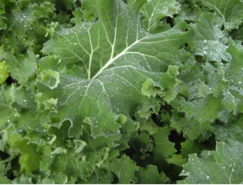 Kale 'Siberian Dwarf' (Brassica Oleracea L.) Heirloom, 2g Of Seeds, NEW