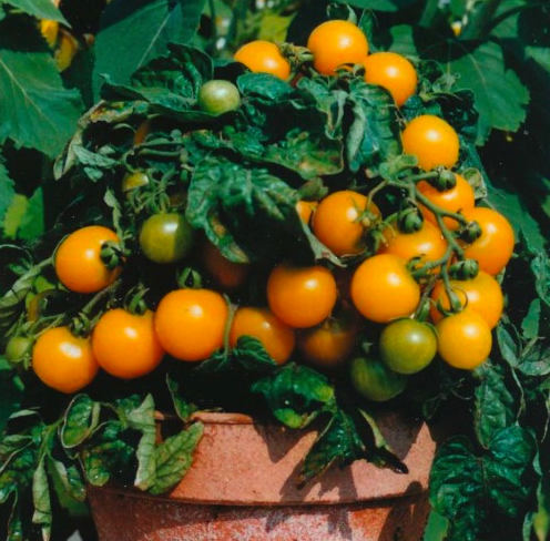 Orange Dwarf Cherry Tomato 'Venus' (Lycopersicon Esculentum Mill.)Seeds, Year Round Heirloom