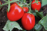 Red Determinate Tomato 'Seijk' (Lycopersicon Esculentum Mill.) Vegetable Plant Seeds, V. Early Heirloom