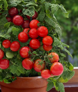 Red Dwarf Cherry Tomato 'Vilma' (Lycopersicon Esculentum Mill.) Vegetable Plant Seeds, Year Round Heirloom
