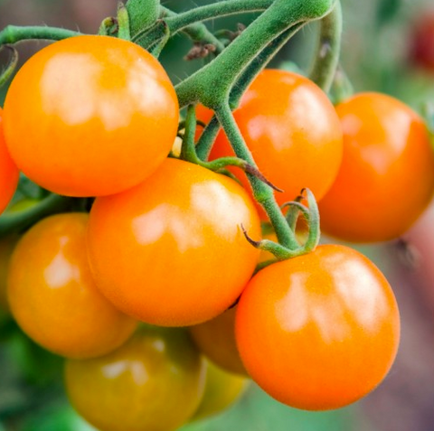 Yellow Tall Cherry Tomato 'Golden Cherry' (Lycopersicon Esculentum Mill.) Vegetable Plant Seeds, Early Heirloom