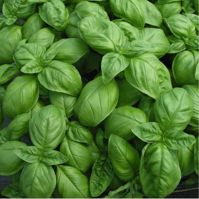 Sweet Basil 'Italiano Classico' (Ocimum basilicum L.) Herbal Heirloom Plants
