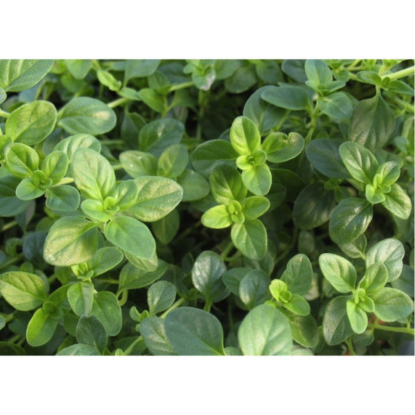 Thyme (Thymus vulgaris L.) Herbal Plant, 1440-1500 Seeds