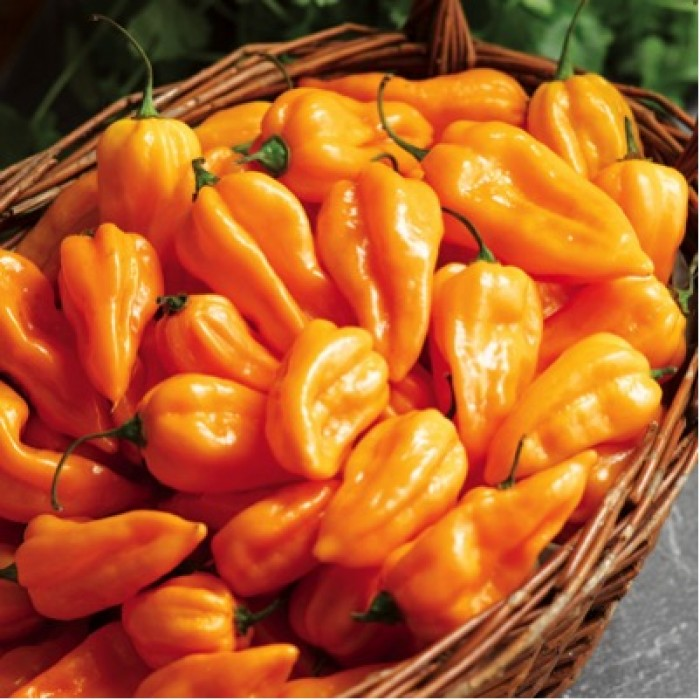 Extremely Hot Chili Pepper 'Fatalii' (Capsicum Chinense) Heirloom, 10 Seeds