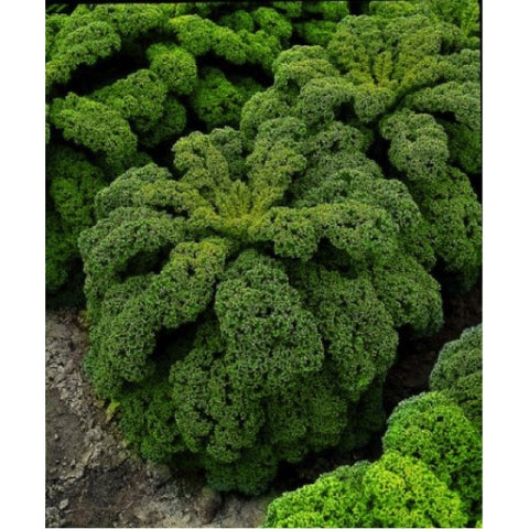 Green Curly Kale/Leafy Cabbage seeds