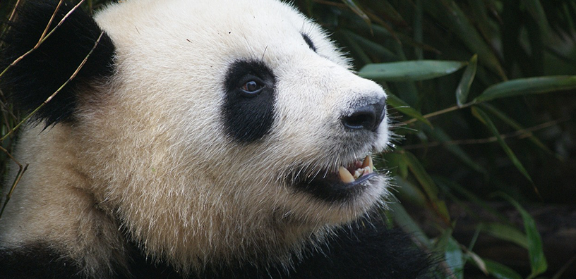 10 Incredible Facts About Pandas