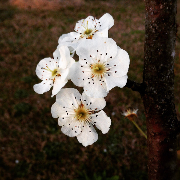Organic pear tree blossoms