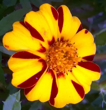 Jolly Jester  Marigold Seeds
