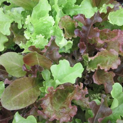 Baby Lettuces Salad Mix Seeds