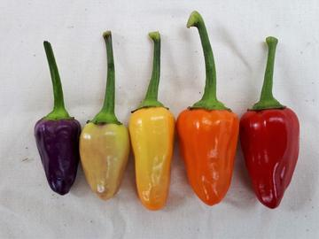 Chinese 5 Colour Hot Pepper Seeds