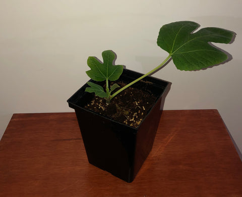 "Fig in 4.5"" Square Pot"