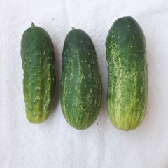 Homemade Pickles Cucumber Seeds
