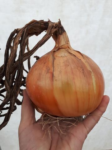 New York Early Onion Seeds