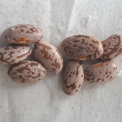 Quincy Pinto Seeds