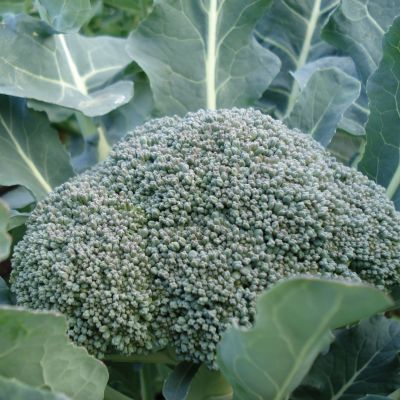 Waltham 29 Broccoli Seeds