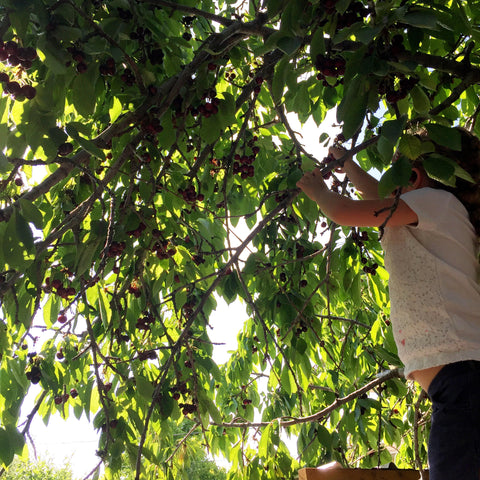 Cherry picking, fruit, children, summer fruite