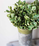 Pittosporum Leaf Stem-Farmhouse Living - Farmhouse Decor