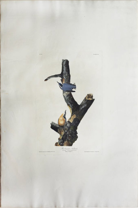 John James Audubon (1785-1851), Plate CV Red-breasted Nuthatch