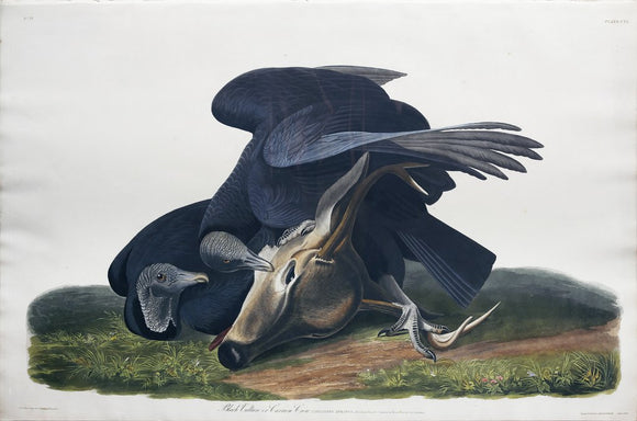 John James Audubon (1785-1851), Plate CVI Black Vulture or Carrion Crow