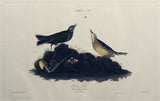 John James Audubon (1785-1851), Plate X Brown Lark