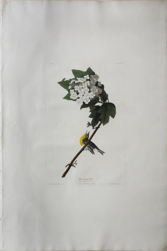 John James Audubon (1785-1851), Plate CXIX Yellow-throated Vireo