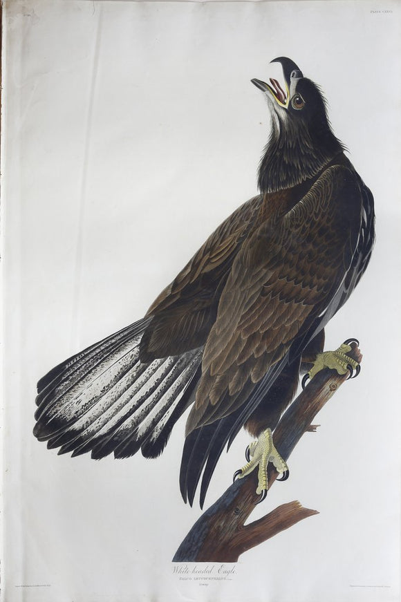 John James Audubon (1785-1851), Plate CXXVI White-headed Eagle