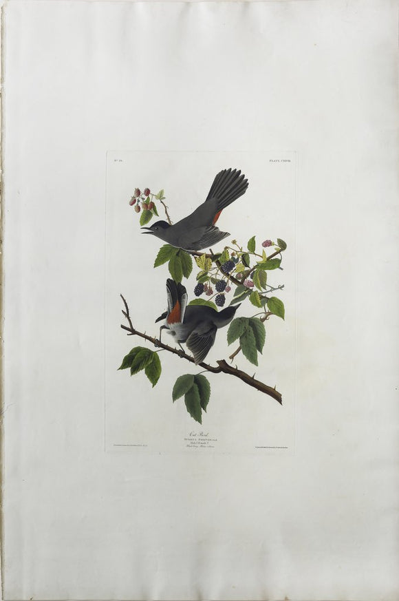 John James Audubon (1785-1851), Plate CXXVIII Cat Bird