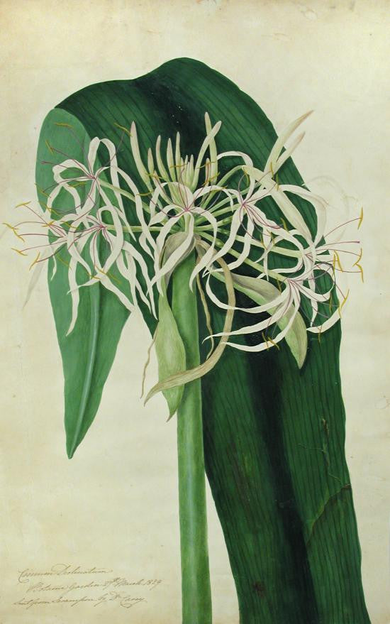 bury-priscilla-susan-falkner-17991872-crinum-declinaturm-botanic-gardens-27th-march-1829