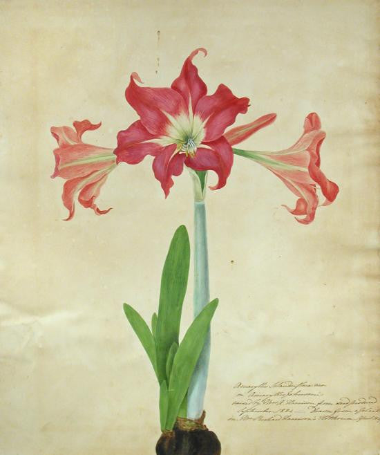 bury-priscilla-susan-falkner-17991872-amaryllis-solandriflora-or-amaryllis-johnsoni-raised-by-mrs-a-harrison-from-seed-produced-september-1824-drawn-from-a-plant-in-mr-richard-harrisons-hothouse-april-1829