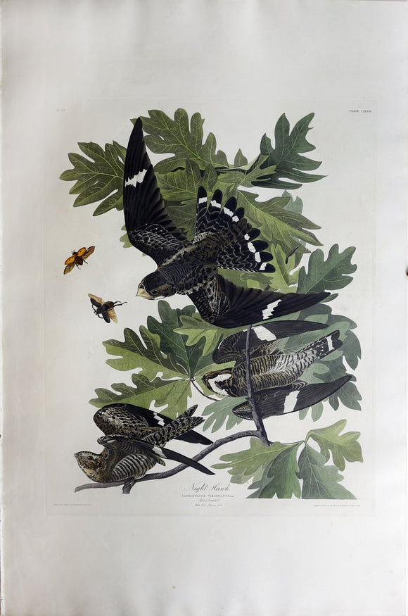 John James Audubon (1785-1851), Plate CXLVII Night Hawk