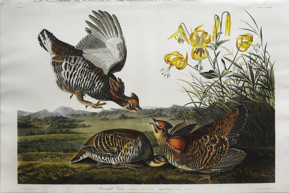 John James Audubon (1785-1851), Plate CLXXXVI Pinnated Grouse