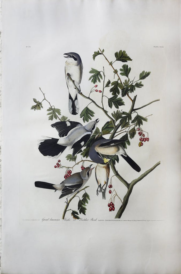 John James Audubon (1785-1851), Plate CXCII Great Cinereous Shrike or Butcher Bird